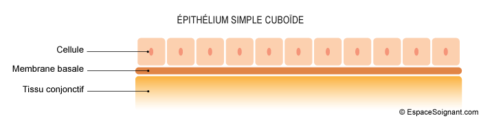Epithélium simple cuboïde