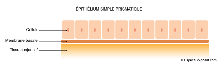 Epithélium simple prismatique